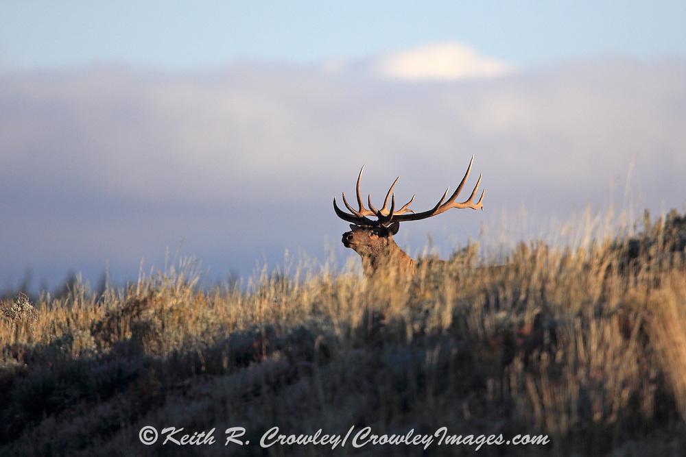 A large bull elk runs across a sagebrush flat at dawn.