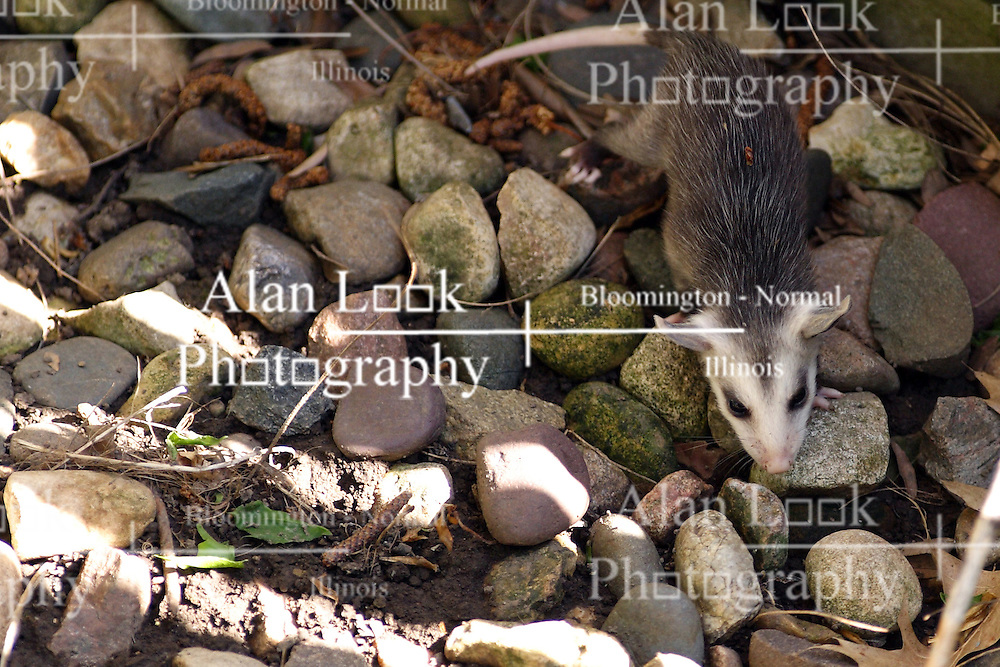 10 May 2005:   a baby opossum navigates landscaping rocks near a wood step in the backyard of a midwest suburban home.