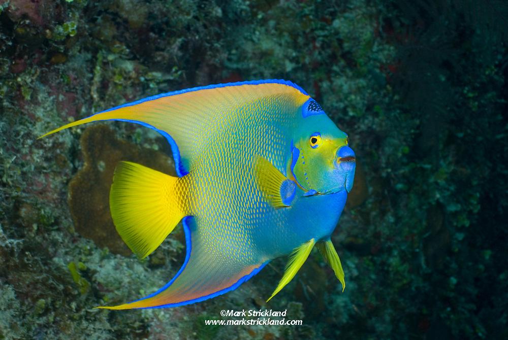 Queen Angelfish, Holacanthus ciliaris, Freeport, Grand Bahama, Bahamas, Atlantic Ocean