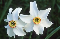Narcissus poeticus var. recurvus  ( Pheasant eye narcissus )