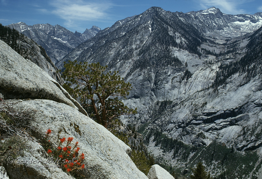 Indian paintbrush and a ponderosa pine grow above Bubbs Creek Canyon.