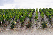 Vineyard. Chateau Malartic Lagraviere, Pessac Leognan, Graves, Bordeaux, France