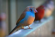 Red-cheeked cordon-bleu finch, Perth, Western Australia