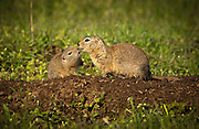 "A belding ground squirrel pup nuzzles up to his mother on The Nature Conservancy's Zumwalt Prairie Preserve. The pups first emerged from their burrow the previous week. Called locally ""red diggers"", they provide a food source for one of tha largest concentrations of breeding raptors in North America."