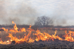 Flames and smoke in grasses during controlled burn on the Daphne Prairie, a remnant of the Blackland Prairie, Mount Vernon, Texas, USA.