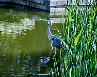 Gray Heron. Paris, France. Image taken with a Leica X2 camera with a 24 mm lens.