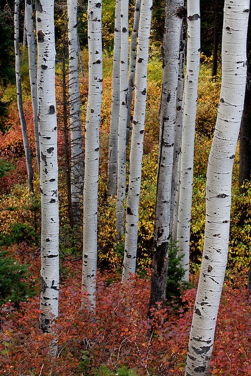 Aspens in Lambs Canyon, Utah