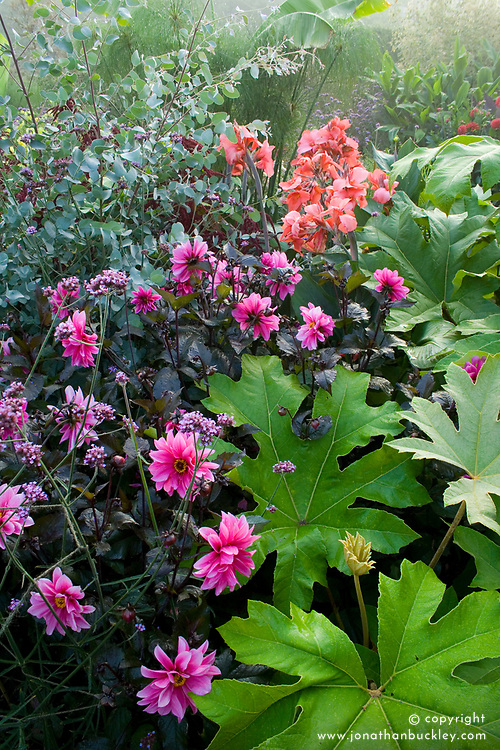 Dahlia 'Fascination' with Tetrapanax papyrifer and Eucalyptus gunni in the exotic garden at Great Dixter