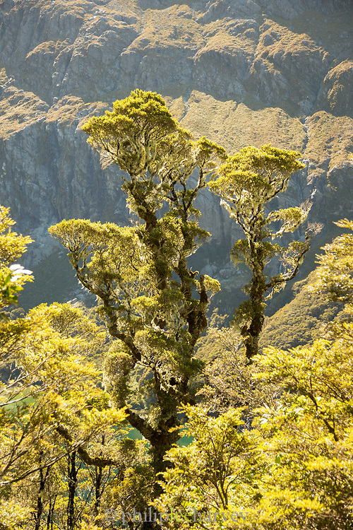 Landscape with view of green moss on trees, Routeburn Track, South Island, New Zealand