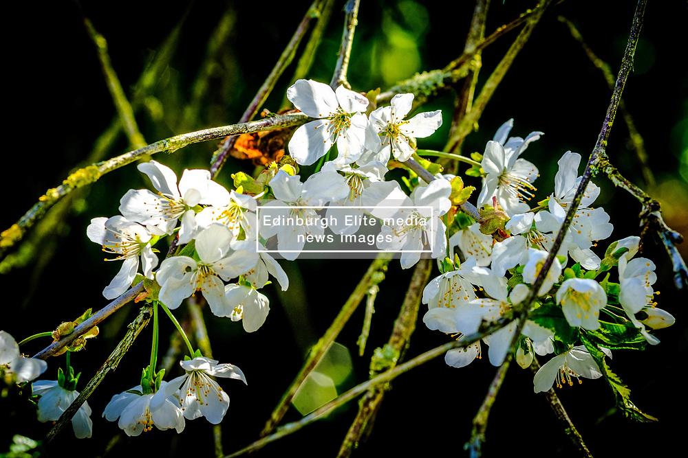 Cherry blossom in early spring - South Lanarkshire, Scotland<br /> <br /> (c) Andrew Wilson   Edinburgh Elite media