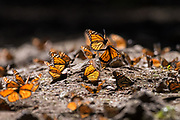 Monarch Butterflies mass together on the forest floor at the El Capulin Monarch Butterfly Biosphere Reserve in Macheros, Mexico. Each year millions of Monarch butterflies mass migrate from the U.S. and Canada to the Oyamel fir forests in central Mexico.