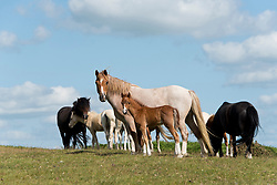 © Licensed to London News Pictures.16/07/2021. Builth Wells, Powys, Wales, UK. Welsh mountain ponies and foals graze on the Mynydd Epynt range near Builth Wells in Powys, Wales, UK as temperatures rise to the high 20s C.  Photo credit: Graham M. Lawrence/LNP