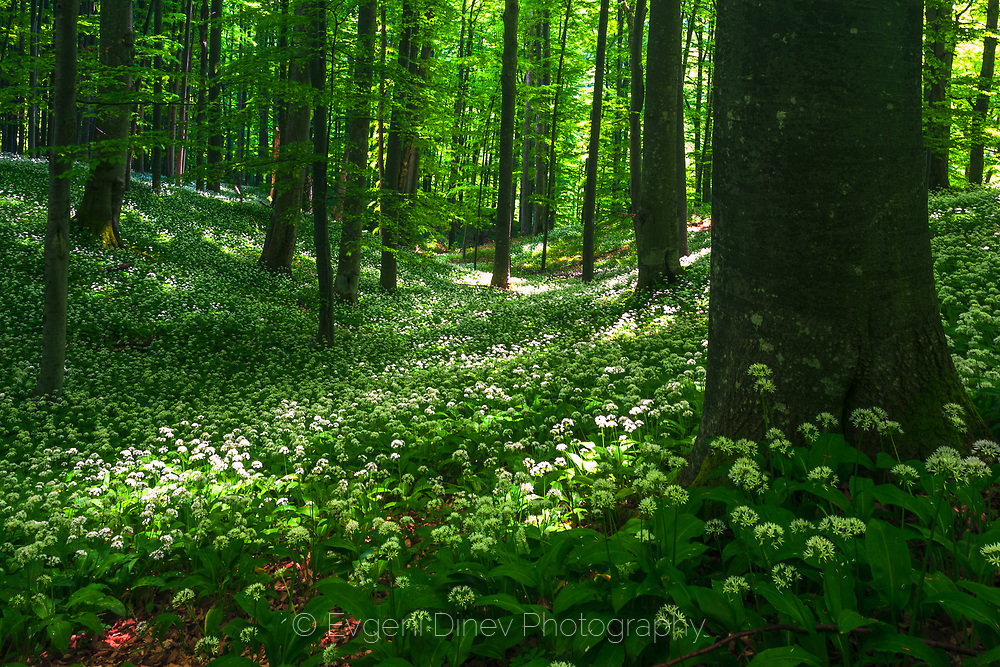 Meadow with wild garlic in Central Balkan national park