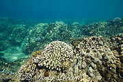 partially bleached colony of antler coral, Pocillopora eydouxi, center, with a colony of cauliflower coral, Pocillopora meandrina below it, on the left, that is partially bleached and partially dead, caused by high seawater temperatures during the summer 2019 marine heat wave, following an ENSO El Nino event, Kahekili Beach Park, West Maui, Hawaii, USA ( Central Pacific Ocean )