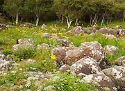 Hemlock Water Dropwort, Ragwort and other flowers teem amongst shoreline boulders at Carsaig, Isle of Mull
