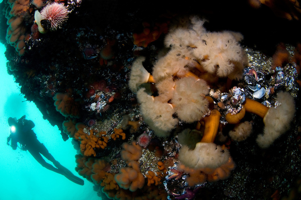 Plumose anemone, Metridium senile, and Klas Malmberg<br /> Atlantic marine life, Saltstraumen, Bodö, Norway<br /> Model release by photographer