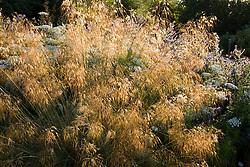 Backlit Stipa gigantea in the cutting garden.  Giant feather grass, Golden oats