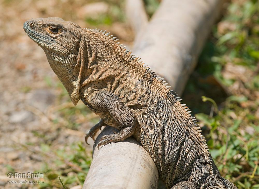 Black spiny-tailed iguana, Ctenosaura similis, near the Tarcoles River, Costa Rica