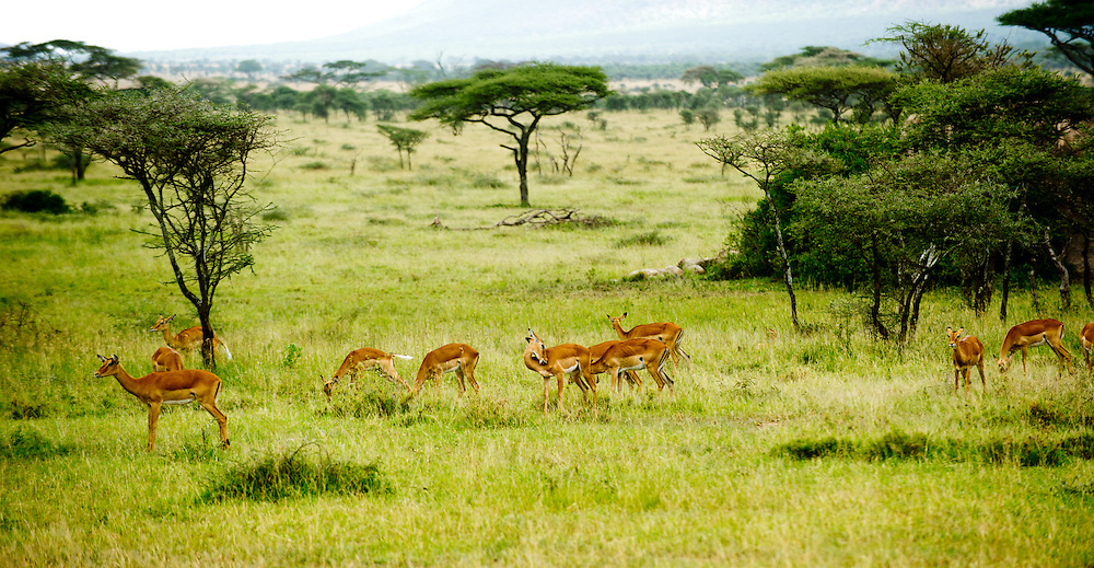 Landscape with herd of Impalas