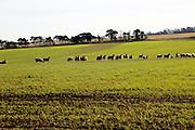 Flock of sheep grazing in field, Alderton, Suffolk Sandlings, England, UK