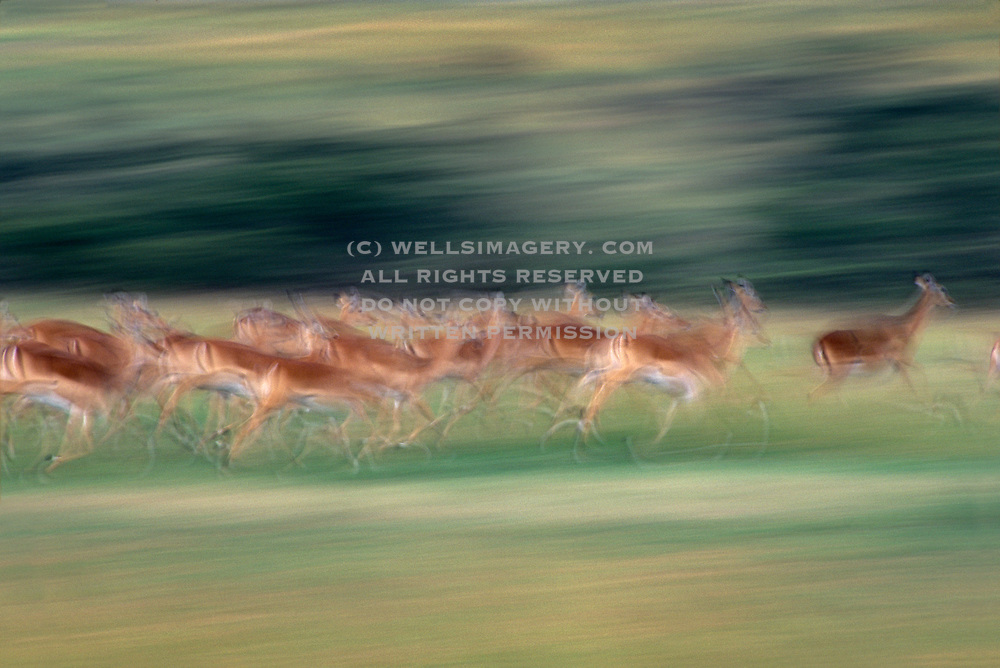 Image of African impalas running at the Masai Mara National Reserve in Kenya, Africa by Randy Wells