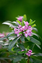 Daphne × transatlantica Pink Fragrance = 'Blapink'