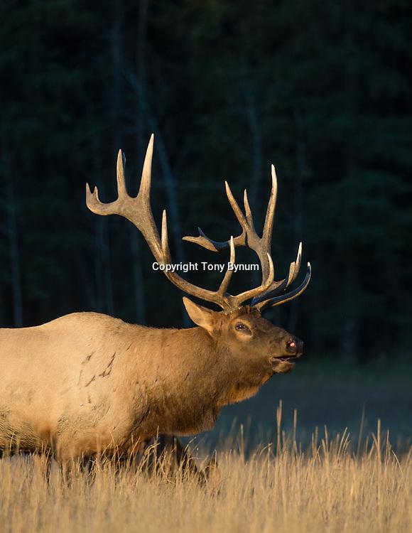 bull elk bugling walking from dark timber into tall grass