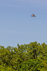 A Belted Kingfisher flutters about over a grove of trees in a fairly stiff wind