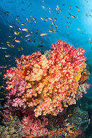 Damsels and Anthias schooling above vividly colored Soft Corals<br /> <br /> <br /> Shot in Indonesia