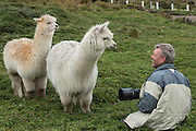 Alpaca (Vicugna pacos) & Pete Oxford<br /> Condor Bioreserve as part of the Antisana Ecological Reserve<br /> ECUADOR, South America<br /> Last erupted between 1801 and 1802