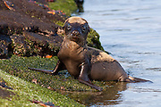 A young Galapagos sea lion (Zalophus californianus) on the beach of Fernandina Island, Galapagos Archipelago - Ecuador.