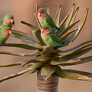 Rosy-faced lovebirds (Agapornis roseicollis). Namib Desert, Namibia