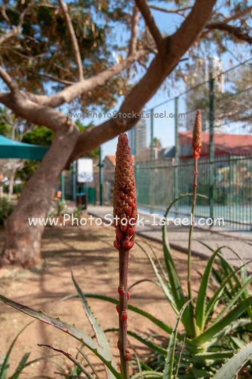 Bright orange flowering heads of aloe plants in a garden. Photographed in Israel in January