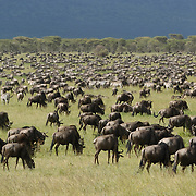 Wildebeest (Connochaetes taurinus) during migration near a calving area in Serengeti National Park, Tanzania, Africa.