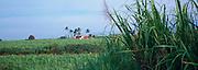 Sugar Cane Fields, Kekaha, Kauai, Hawaii, USA<br />