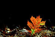 Fallen oak leaf glows in the afternoon light - Mississippi