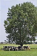 Nederland, Kekerdom, 21-6-2017Een kudde koeien, zoekt beschutting tegen de warmte van de zon in de schaduw van bomen.Foto: Flip Franssen