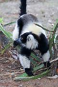 Madagascar, Black-and-white Ruffed Lemur (Varecia variegata)