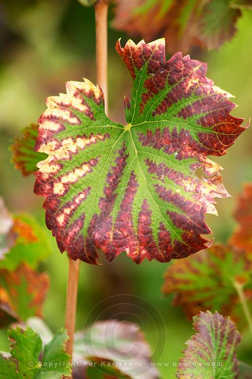 A Mourvedre leaf in autumn colour the vineyard. Chateau Mourgues du Gres Grès, Costieres de Nimes, Bouches du Rhone, Provence, France, Europe