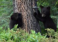 Black Bear - Ursus americanus - young cubs. Jasper National Park, Canada.