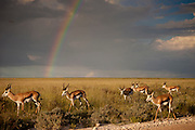 Springbok forage in the expansive plains of Etosha National Park in northern Namibia with a rainbow in the distance from an afternoon rain.