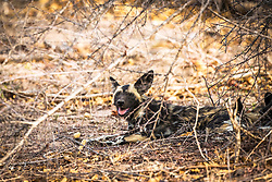 """African Wild Dog, Kruger National Park.  The African wild dog, also called Cape hunting dog or painted dog, typically roams the open plains and sparse woodlands of sub-Saharan Africa.<br /> <br /> These long-legged canines have only four toes per foot, unlike other dogs, which have five toes on their forefeet. The dog's Latin name means """"painted wolf,"""" referring to the animal's irregular, mottled coat, which features patches of red, black, brown, white, and yellow fur. Each animal has its own unique coat pattern, and all have big, rounded ears."""