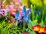 Colorful arrays of flowers, including these grape hyacinth, center, and primroses, right, are part of the displays at the annual Northwest Flower & Garden Show. (Mike Siegel/The Seattle Times)