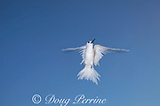 white tern or fairy tern, Gygis alba rothschildi, flying, Sand Island, Midway, Atoll, Midway Atoll National Wildlife Refuge, Papahanaumokuakea Marine National Monument, Northwest Hawaiian Islands, USA ( Central North Pacific Ocean )