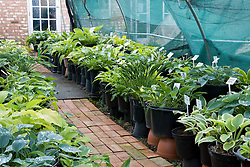 Hostas growing in a shade tunnel at Hosta House