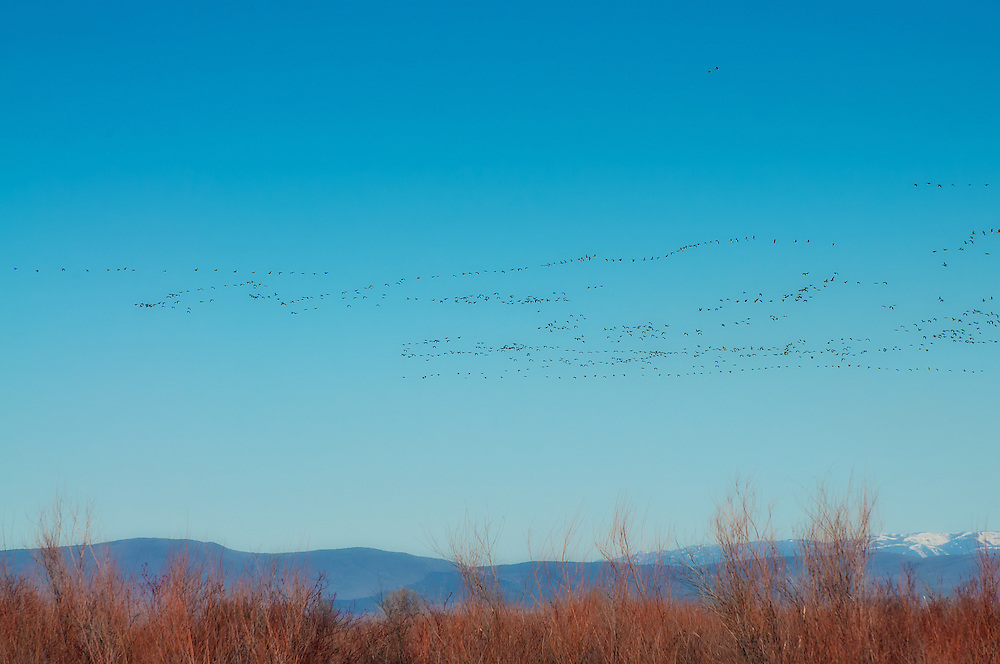 Several wedges of Moffitt's Canada Geese (a subspecies of the Canada goose found in Alaska, British Columbia, Washington and Oregon) fly over the Toppenish National Wildlife Refuge in Central Washington.