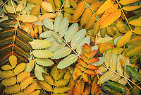 Mountain Ash leaves make for a colorful fall backdrop