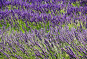 Lavender Fields. Photographed in Provence, France