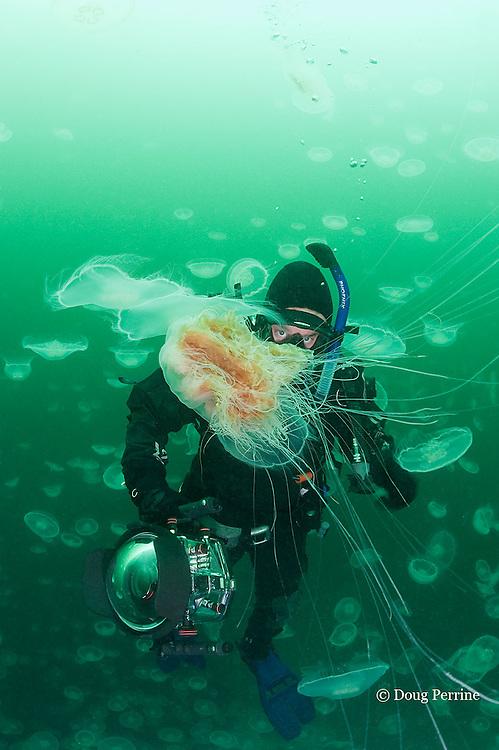 diver Nathan Meadows and lion's mane jellyfish, Cyanea capillata,  swimming through swarm or aggregation of moon jellies, Aurelia labiata, Port Fidalgo, Alaska ( Prince William Sound ) MR 422