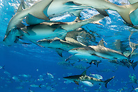 Lemon and Caribbean Reef Sharks crowd at the surface<br /> <br /> Shot in Bahamas